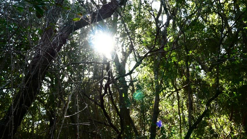 Pine Forest Trees Cork Bark Vegetation Nature Video 4K