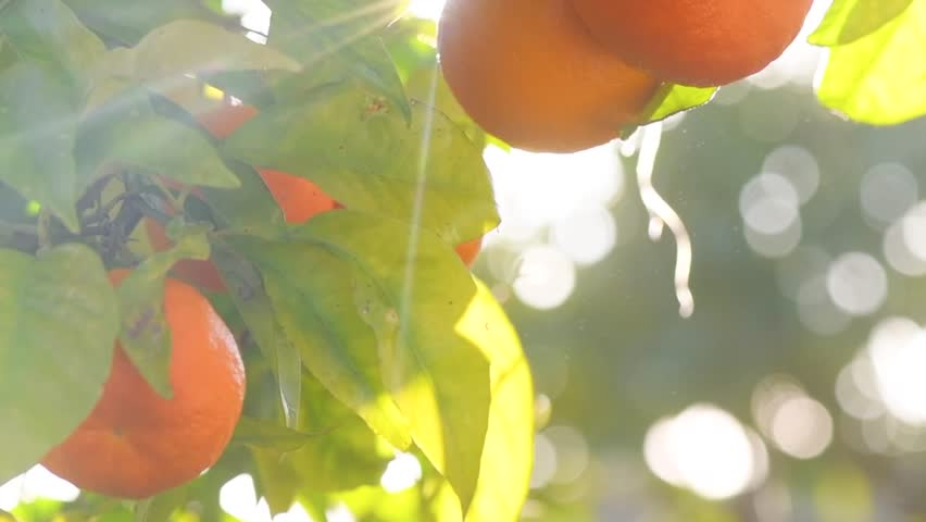Ripe Orange Citrus fruits or tangerines hanging on a tree. Beautiful Healthy organic juicy oranges in Sunny Orchard. Orange gathering. 4K UHD video 3840X2160 slow motion
