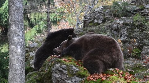 European brown bear (Ursus arctos arctos) young leaving female resting on rock in autumn forest