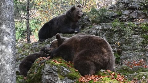 European brown bear (Ursus arctos arctos) female with two young resting on rock in autumn forest
