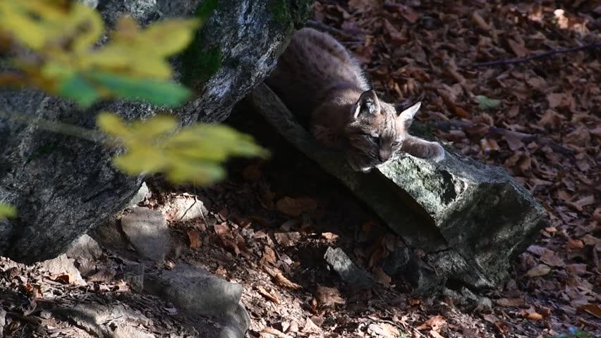 Cute two month old Eurasian lynx (Lynx lynx) kitten sunning on rock near den and dashing off