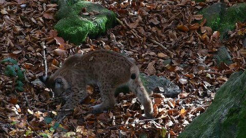Eurasian lynx (Lynx lynx) kittens in autumn forest