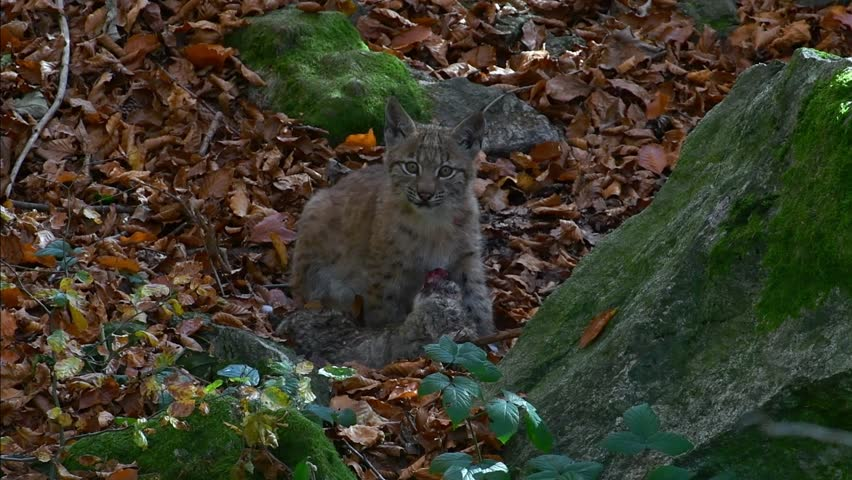Eurasian lynx (Lynx lynx) kitten playing with dead rabbit prey in autumn forest