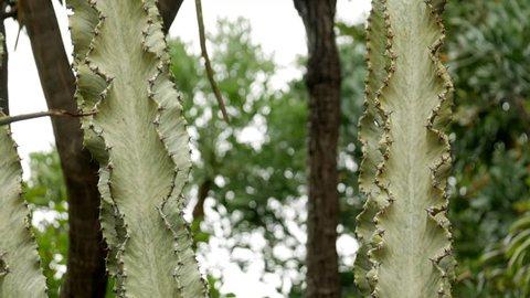 Pale Euphorbia, Euphorbia Ammak cactus. PAN UP SHOT. CLOSE UP.