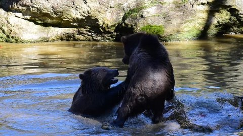 Two European brown bear cubs (Ursus arctos arctos) play fighting in water of pond