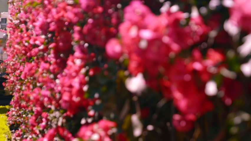 Wall of red bougainvilla flowers in San Francisco, California. Shot in 120fps exported at 23.98fps.