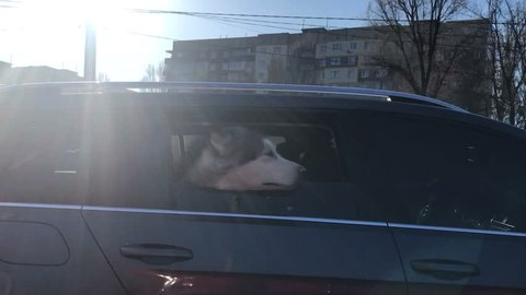 Malamute dog looks out of car window in sunny day