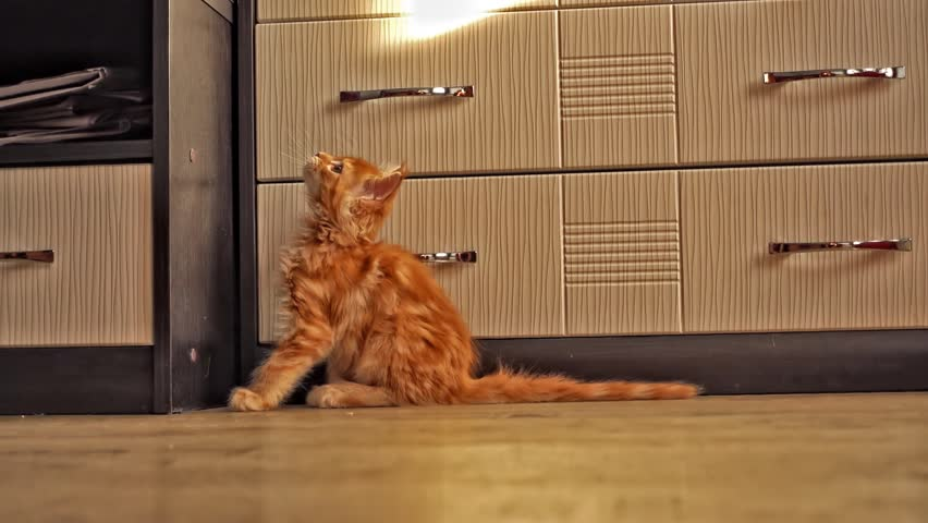Cute red kitten of Maine Coon in the sunny room. Slow motion 100 FPS | Shutterstock HD Video #1027781387