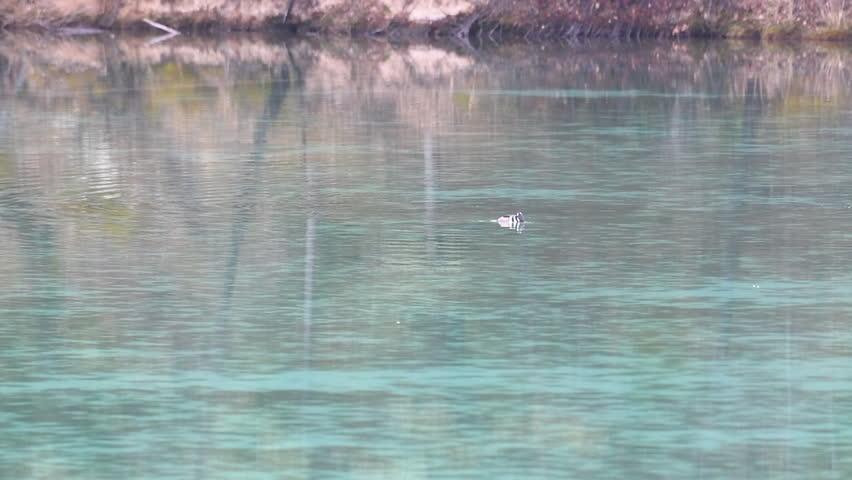 Bufflehead swimming in turquoise water   Shutterstock HD Video #1027804397