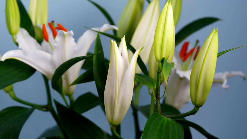 White Oriental Lily Flower Blooming Time Lapse. A white stargazer lily (lilium casablanca) flower opens, the anthers rotate on the filaments and a drop of nectar is exuded from the stigma.