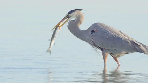 Great blue heron bird hunting and catching barracuda in South Florida beach coast