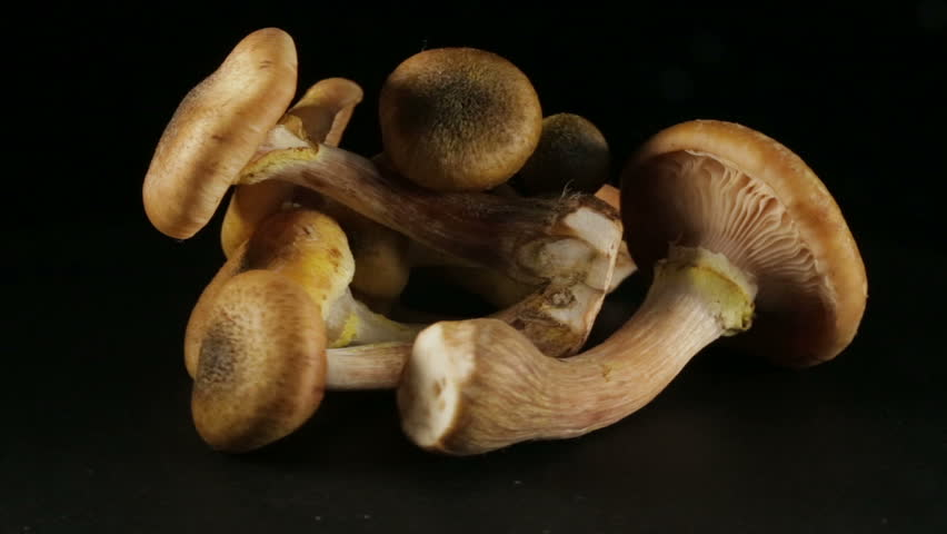 Group of honey mushrooms, in rotation on a black background.