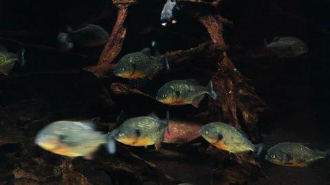 Piranha fish swim underwater in tropical rainforest river. A flock of predatory fish piranha under water. Dangerous freshwater fish Amazoki.