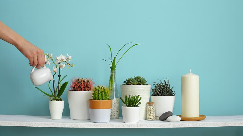 Modern room decoration with Picture frame mockup. White shelf against pastel turquoise wall with Collection of various cactus and succulent plants in different pots. Hand is watering them.  | Shutterstock HD Video #1027938107