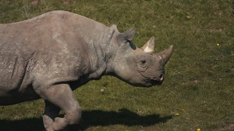 Rhino walking across it's enclosure in a zoo, UK. Eating grass. White rhinoceros. Mid shot, side view.