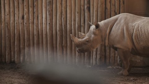 White Rhino walking around indoor, in it's enclosure with out of focus wooden caging in foreground. Wide shot of Rhino.