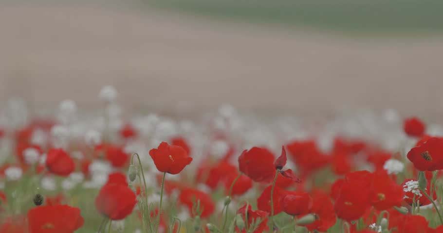 A huge field of blooming red poppies on a beautiful background. Red poppies swinging in the wind. Field, spring flowers.
