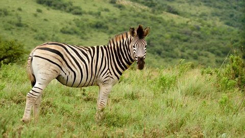 Slow motion: One adult zebra standing between green grass while tail and mane blow in the wind. Green African hillside in background on summer day in Africa