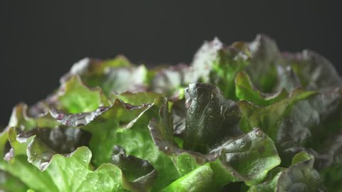 Slow motion rotation of the green lettuce, with red, bronze fresh crispy leaf salad. Water droplets, 4K close up from the side. Batavia, French or Oak Leaf Lettuce cabbage.