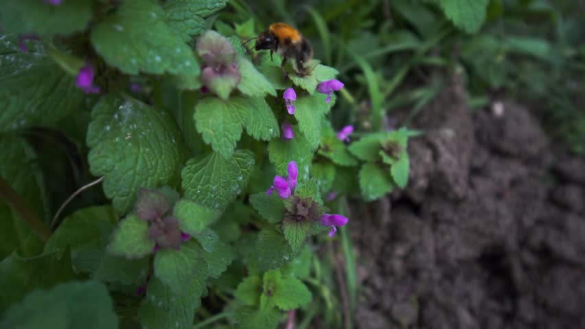 A bumblebee collects polen from a violet spring flower in a rural environment on a sunny day.  Climate change problems. Long shot slow motion close up video.  | Shutterstock HD Video #1028158367