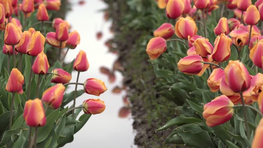 Tulips in a Wet Field zoom 4K UHD. A field of orange tulips in a wet and muddy field.  | Shutterstock HD Video #1028200217