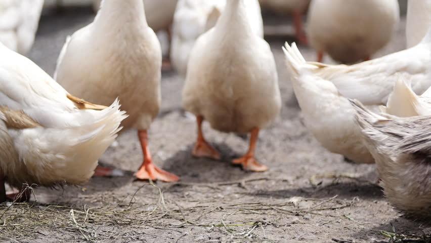 Duck nature farm | Shutterstock HD Video #1028204717
