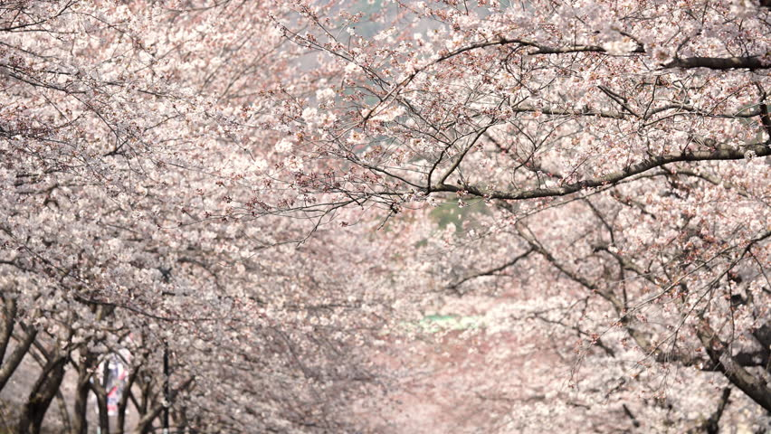 Amazing natural background of Japanese spring and blooming sakura trees. Branch of cherry blossoms in selective focus and blurred flowers in distance. | Shutterstock HD Video #1028207177
