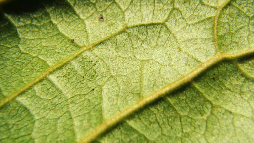 Macro of leaf structure. Nature background or wallpaper. tropical almond leaf details  | Shutterstock HD Video #1028212097