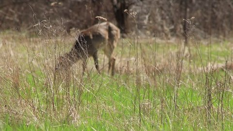 Skinny white-tailed deer grazing