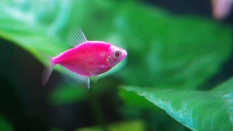 Black skirt tetra. Pink fluorescent genetically engineered aquarium fish