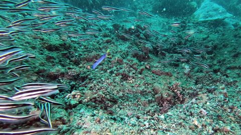 Blue ribbon eel emerges from its lair in the sea floor and catches striped eel catch fish