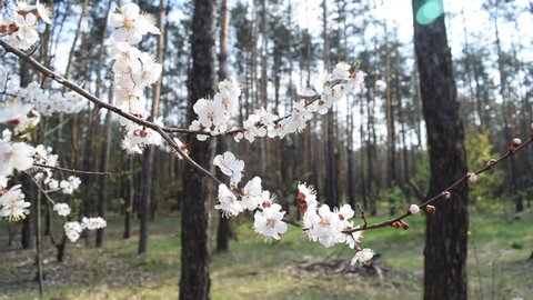 The view through the bright white flowers of the pine forest. It's spring