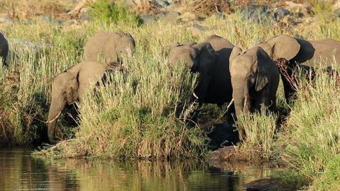 Feeding African elephants (Loxodonta africana), Kruger National Park, South Africa