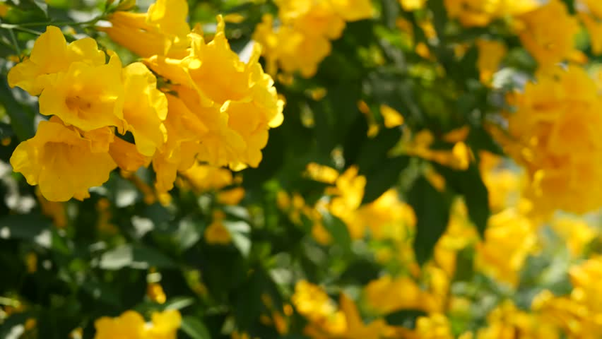 Beautiful Yellow Flowers In Bunches On The Branches Of A Bush