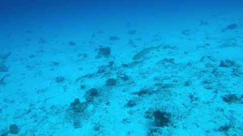 Sharks swimming along the reef and between scuba divers