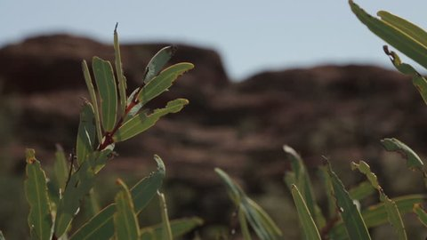 Extreme close-up low-angle still shot of some green desert shrub leaves damaged by other insects, Outback, NT