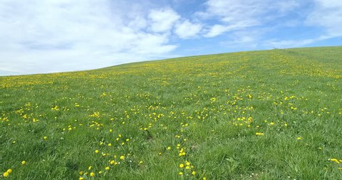 Aerial view of dandelion meadow in the springtime, forward rising move