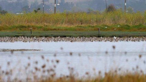 Slow motion flock of bar-tailed Godwit birds landing on wetland in New Zealand near Miranda