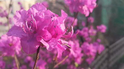 Pink rhododendron flowers on blurred background. Natural background.