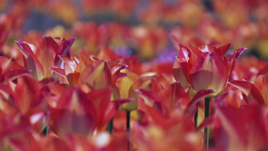 Close up of red tulips in Nagano, Japan.   Shutterstock HD Video #1028887127