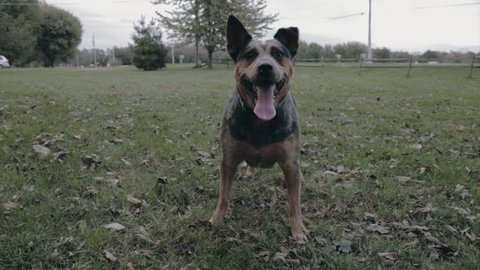 Blue heeler dog waiting to fetch the stick in slow motion