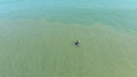 drone shots of dolphins swimming in the ocean