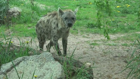Spotted Hyena (Crocuta crocuta) walking
