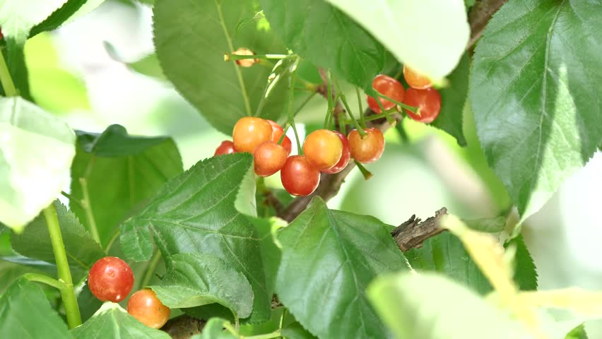 Close up of fresh organic ripe cherries on a cherry tree in a fruit field in spring or summer. Healthy food fruit concept, 4k movie, slow motion.