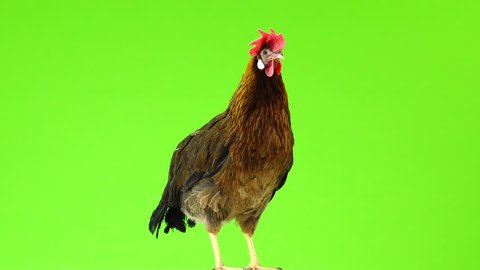 cluck Italian partridge chicken isolated on green screen.  sound