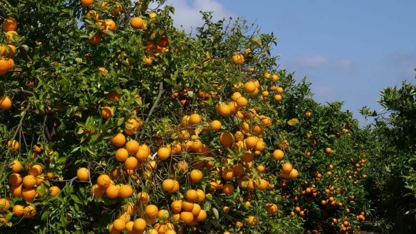 The camera drives past an orange grove in Spain with blue sky and sunshine. | Shutterstock HD Video #1028954027