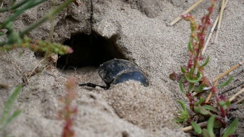 Dung beetle that digs its den to deposit the dung ball. A tireless insect works on a sand dune. Des Desert des Agriates, Corsica, France