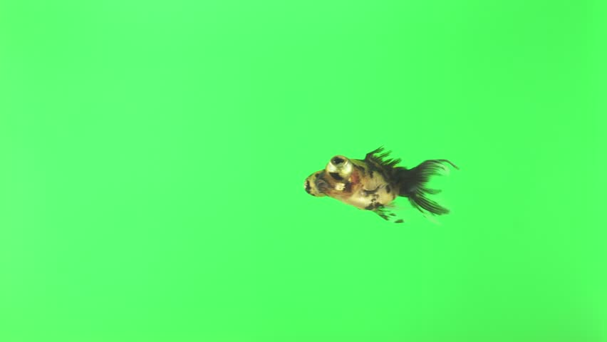 A small fish with big eyes swims on a green screen. Isolated green background. Animal chroma key. | Shutterstock HD Video #1029206777