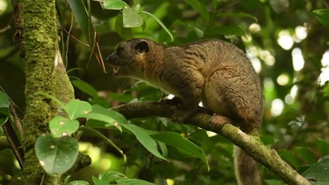 Video Bushy-tailed Olingo - Bassaricyon gabbii also known as the Northern olingo, is a tree-dwelling member of the family Procyonidae, which also includes raccoons