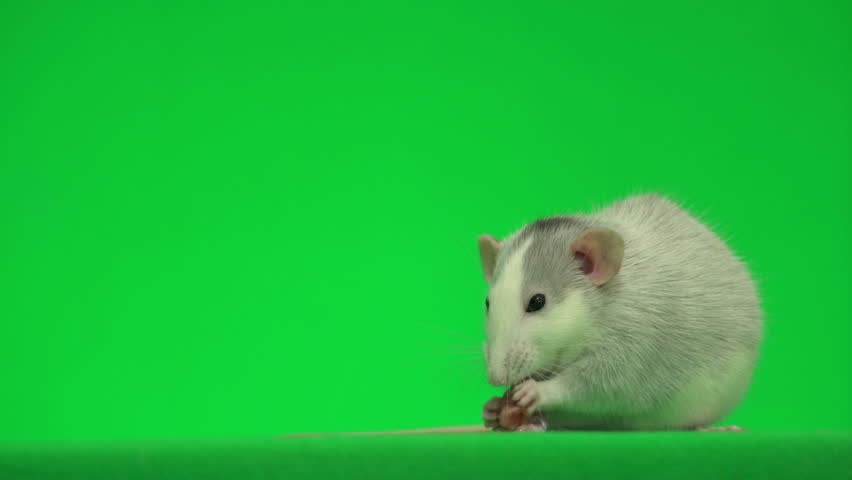 rat eating meat on a green screen #1029466967